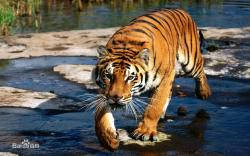 National Geographic Super Cat,国家地理:大型猫科类动物(720P)