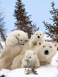 BBC The Polar Bear Family and Me,BBC:我和北极熊家庭[全3集](720P)